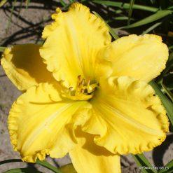 Daylily 'Lemon Electra'