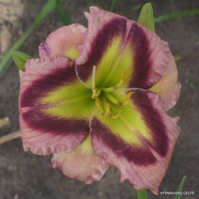 Daylily 'Malachite Prism' (2)