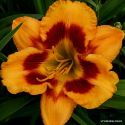 Daylily 'Orange Firecat'