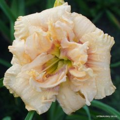 Daylily 'Our Friend Alice Tanner'