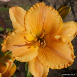 Daylily 'Patriots Passion'