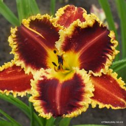 Daylily 'Pinewood Consuming Fire'