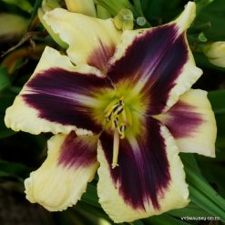 Daylily 'Ptolemee'