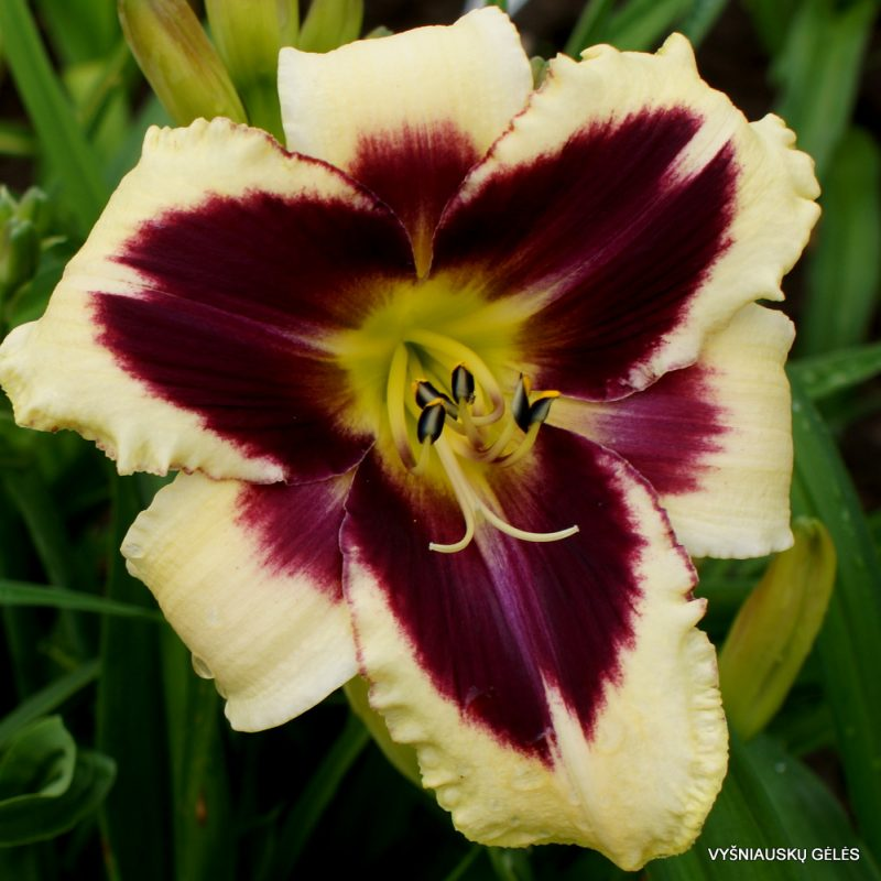 Daylily 'Ptolemee' (2)