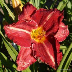 Daylily 'Rose Blast'
