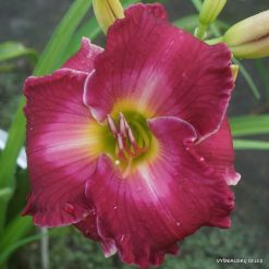 Daylily 'Rosy Complexion'