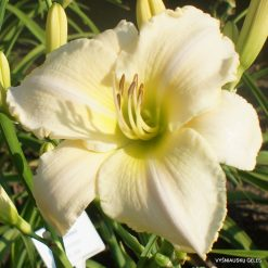 Daylily 'Spacecoast White Out'