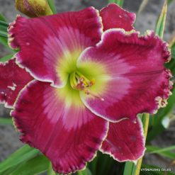Daylily 'Splendor of the King'