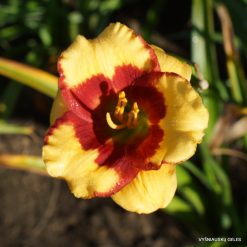 Daylily 'Summer Dragon'
