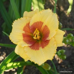 Daylily 'Touch of Heart'