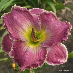 Daylily 'Tranquil Waters'