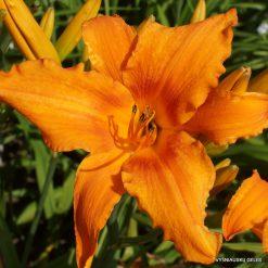 Hemerocallis 'Orange Splash'
