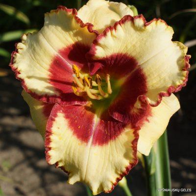 Hemerocallis 'Abilene Lillian' (2)
