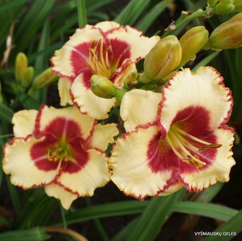Hemerocallis 'Abilene Lillian' (3)