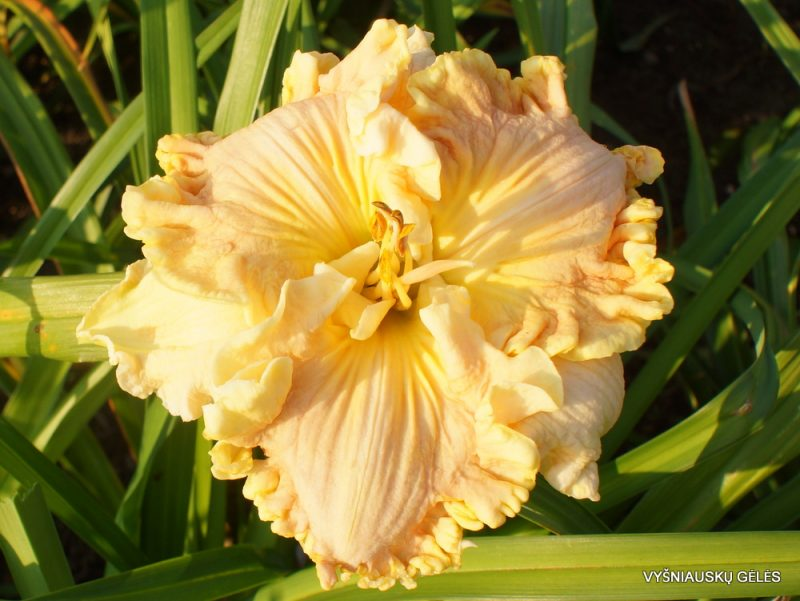 Hemerocallis 'Beyond the Big Bang' (3)