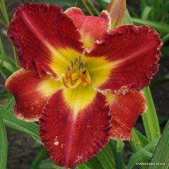 Hemerocallis 'Bicolor Beautiful'