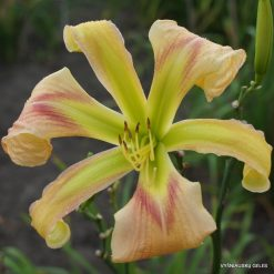 Hemerocallis 'Boitzer Journey To Hong Kong'