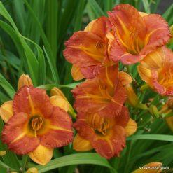Hemerocallis 'Boitzer Mandarin'