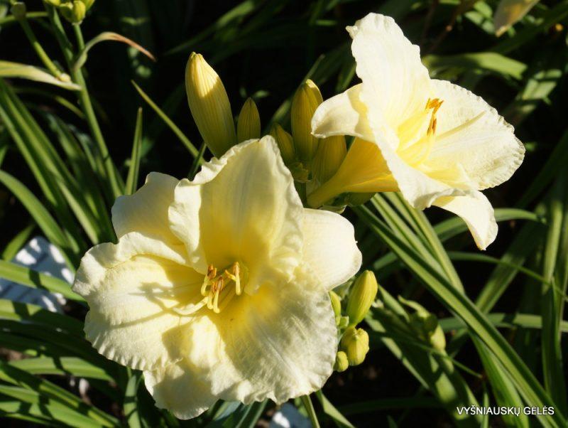 Hemerocallis 'Brilliant Bouquet' (2)