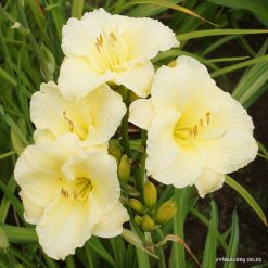 Hemerocallis 'Brilliant Bouquet'