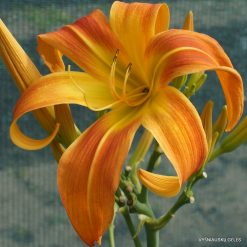 Hemerocallis 'Cheetah Wheelies'