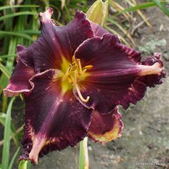 Hemerocallis 'Coit Tower'