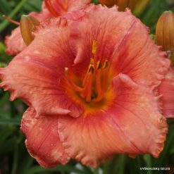 Hemerocallis 'Crowd Appeal'