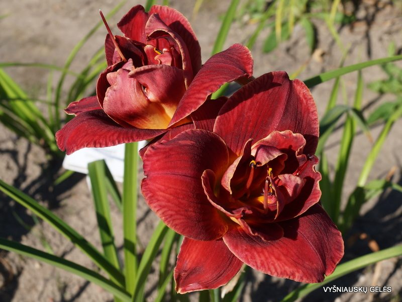 daylily 'Layers of Love' (3)