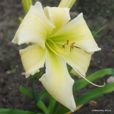 daylily 'Lightning Force'