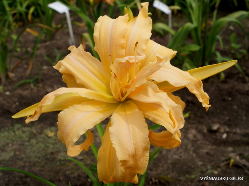 daylily 'Magical Explosion' (2)
