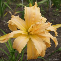 daylily 'Magical Explosion'