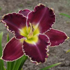 daylily 'Royal Invitation'