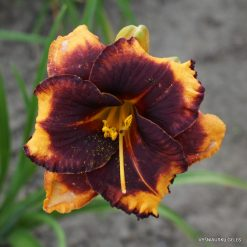 daylily 'Spacecoast Little Big Eye'