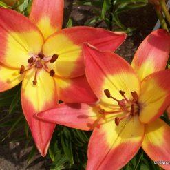 lily 'Saulutė'