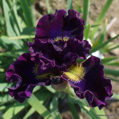 Iris 'A Capella'