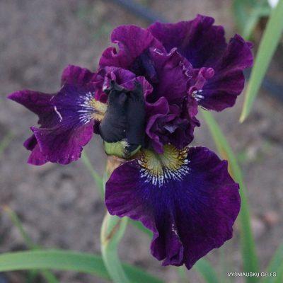 Iris 'A Capella' (2)