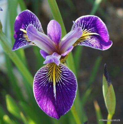 Iris 'Appointer' (2)