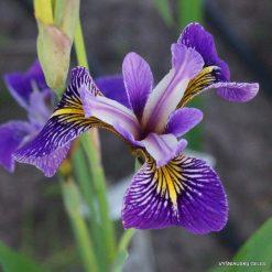 Iris 'Appointer'