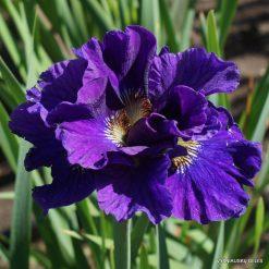 Iris 'Concord Crush' (3)