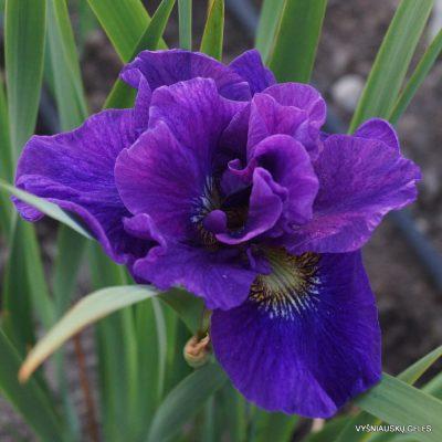 Iris 'Concord Crush'
