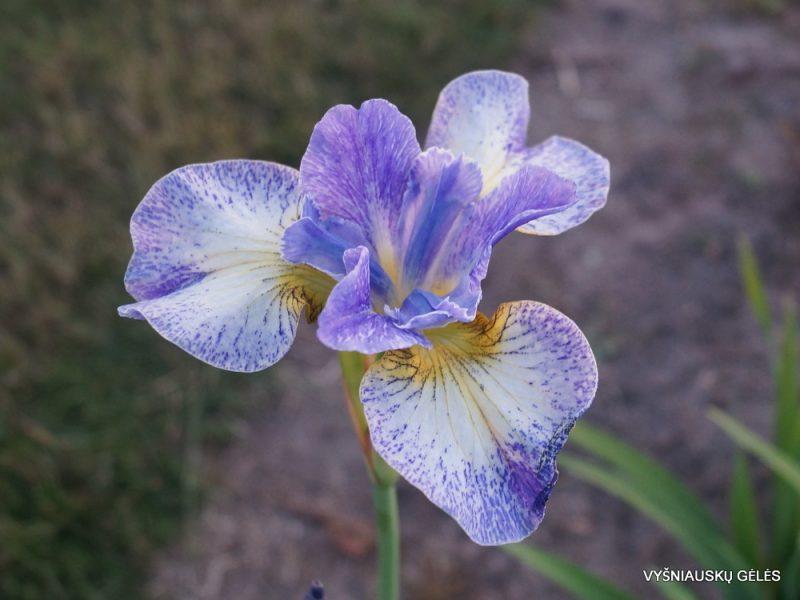 Iris 'Emily Ann' (3)