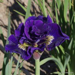 Iris 'Kaboom'