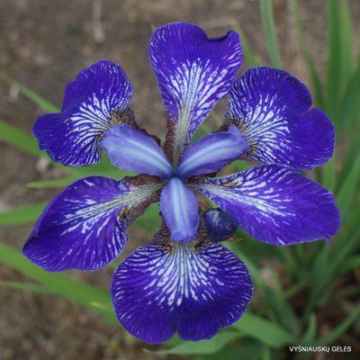 Iris 'Kita no Seiza'