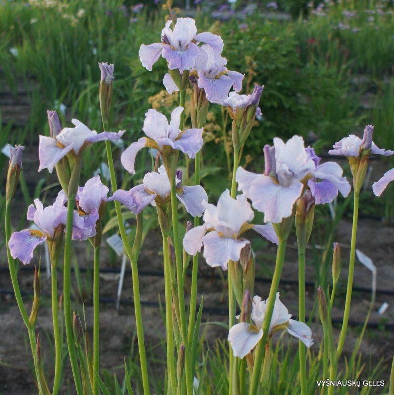 Iris 'Lavendelturm' (3)