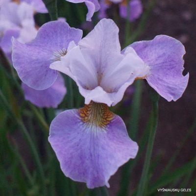 Iris 'Lavender Landscape' (2)
