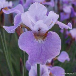 Iris 'Lavender Landscape'