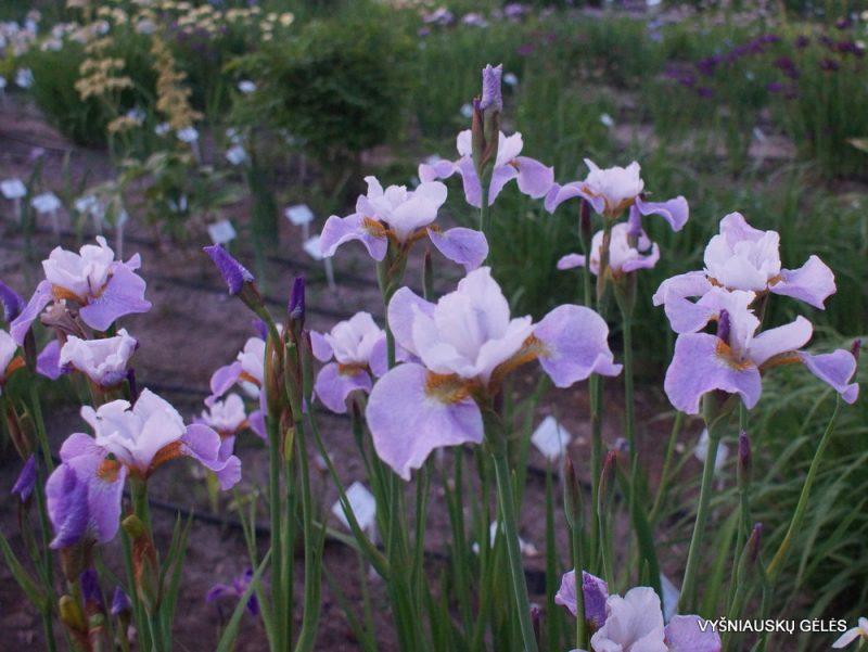 Iris 'Lavender Landscape' (3)