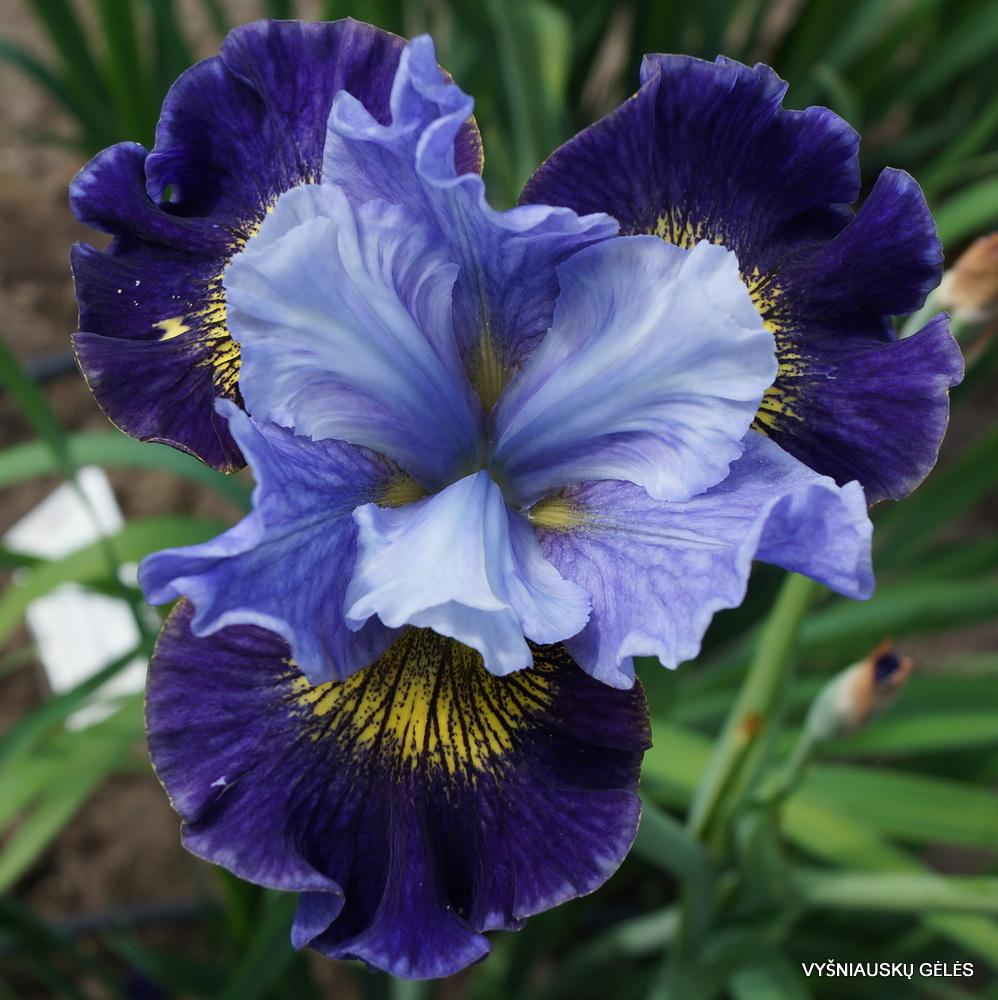Iris 'Neptune's Gold' (2)