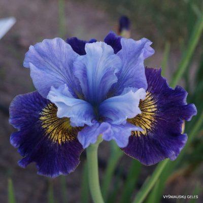 Iris 'Neptune's Gold'