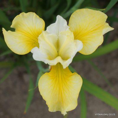 Iris 'Northern Yellow'